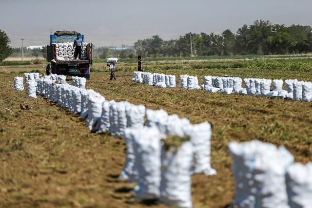 پیش بینی برداشت بیش از 200 هزار تن سیب زمینی از مزارع چهارمحال و بختیاری