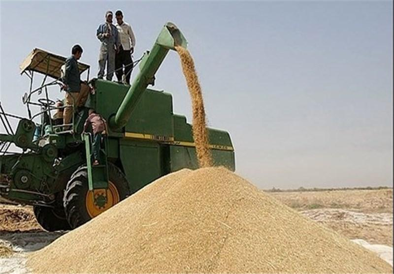 گندمی که به دولت فروخته نشد نصیب واسطه ها شد؟