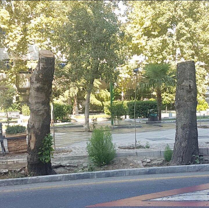 واکنش شهرداری به قطع درختان حیاط بیمارستان مسیح دانشوری