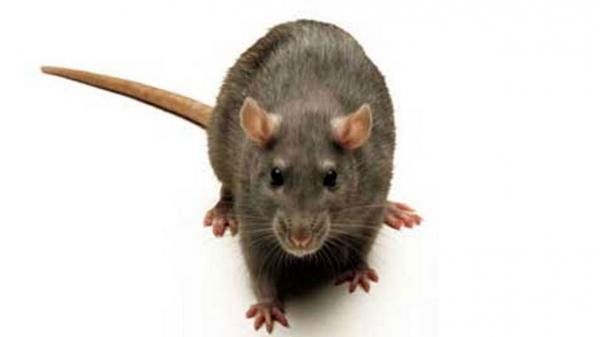 چطور موش های خانگی را نابود کنیم؟